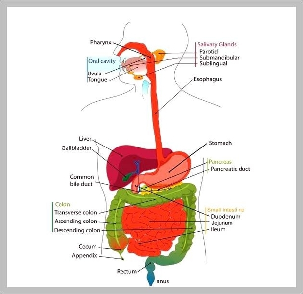 Admin graph diagram page 48 functions of digestive system diagram chart diagrams and charts with labels this diagram depicts functions of digestive system ccuart Gallery