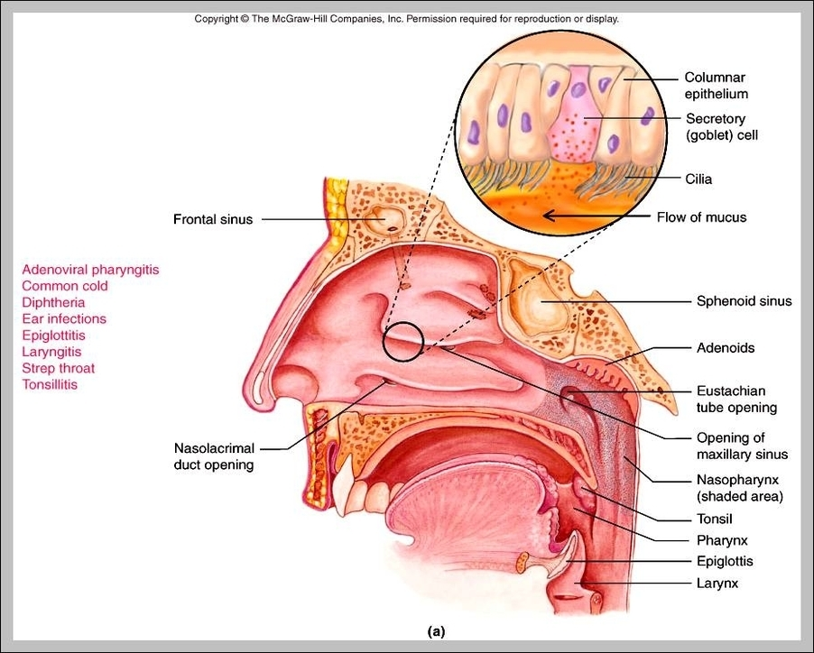 functions of epiglottis | Graph Diagram