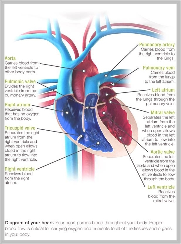 Functions Of The Heart Graph Diagram