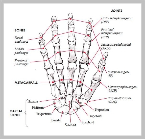 Hand Bones Anatomy Diagram - Chart - diagrams and charts with labels ...