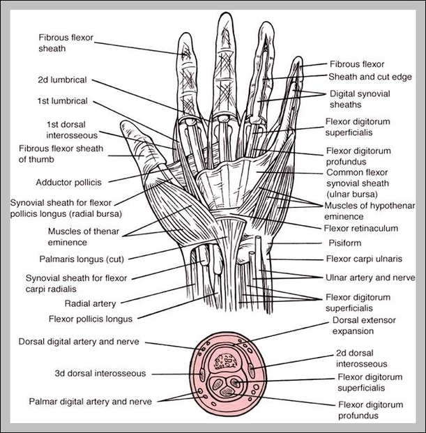 hand ligaments and tendons | Graph Diagram