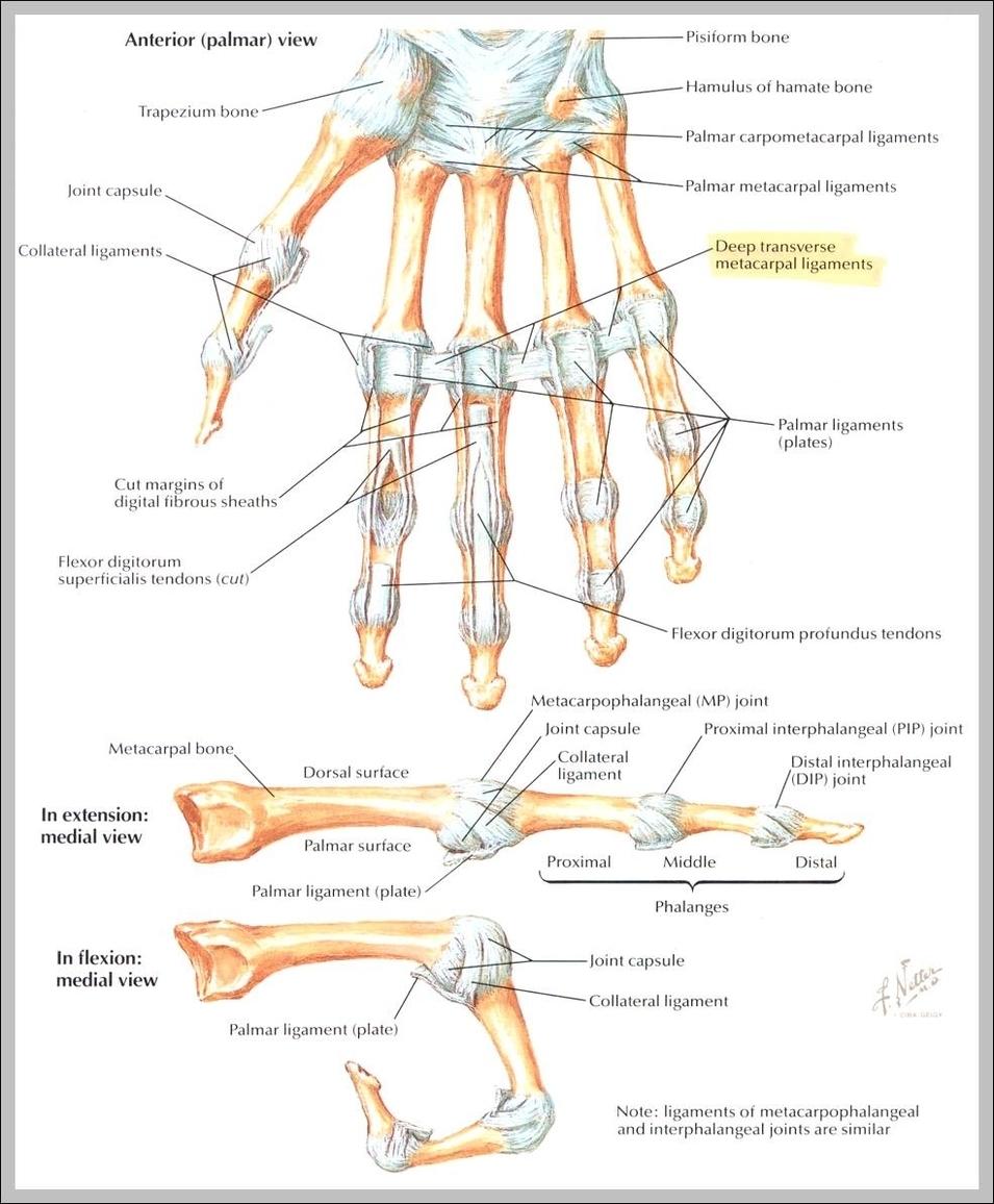 hand anatomy | Graph Diagram
