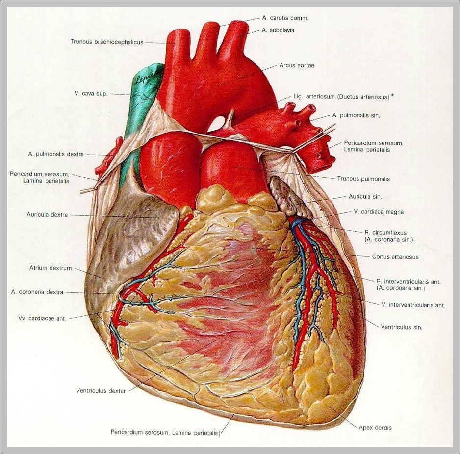 Heart Anatomy Graph Diagram