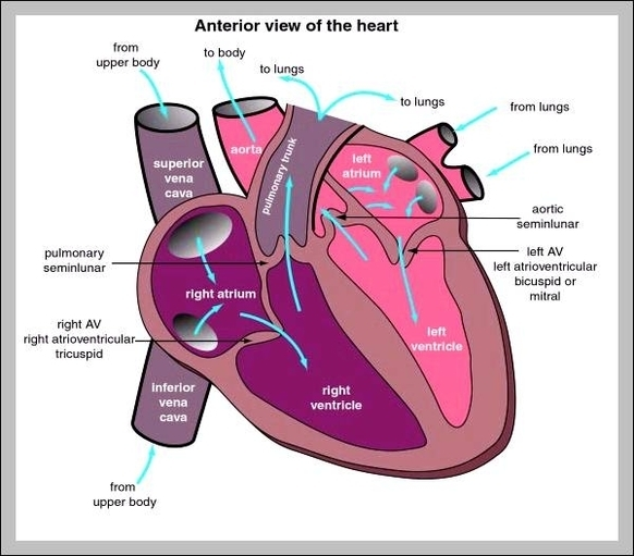 heart diagram | Graph Diagram