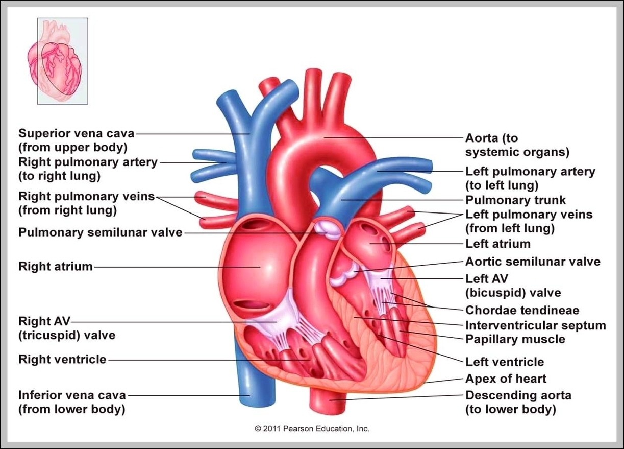 Heart anatomy graph diagram heart right atrium diagram chart diagrams and charts with labels this diagram depicts heart right atrium ccuart Image collections