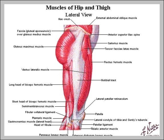 Hip Muscles Diagram Graph Diagram