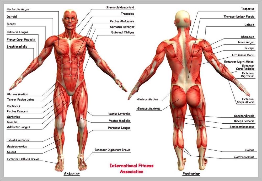 human anatomy buttocks | Graph Diagram