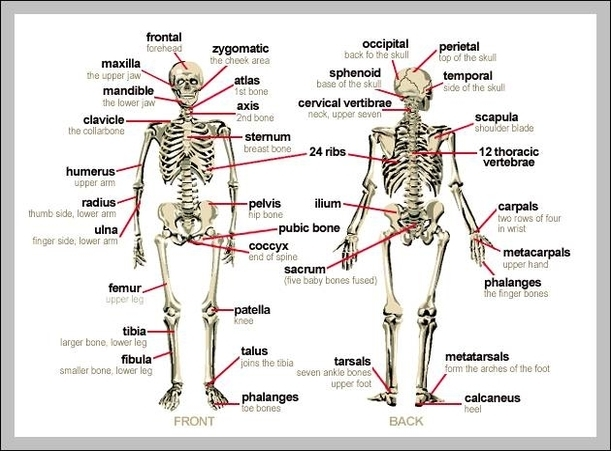 Human body bones labeled | Graph Diagram