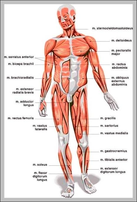 Human Body Muscles Chart Graph Diagram