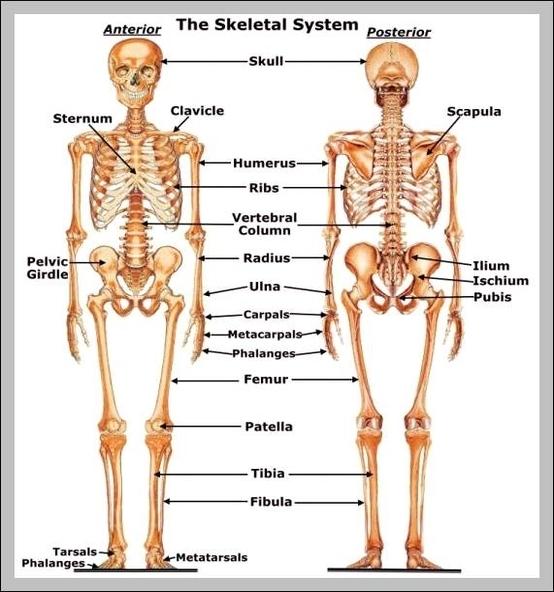 Human Body Systems Diagrams Graph Diagram