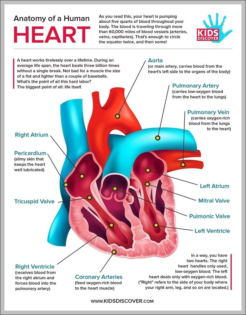 Human heart anatomy for kids | Graph Diagram