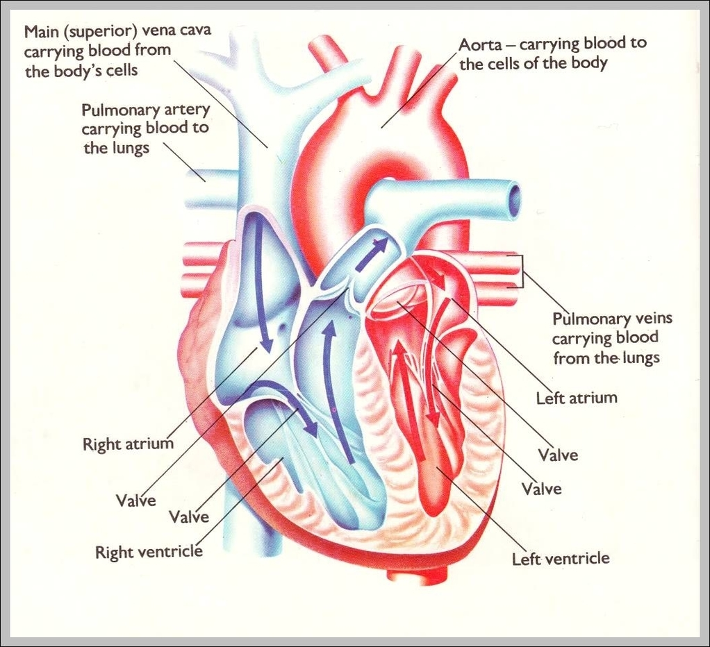 Human Heart Pictures For Kids Graph Diagram