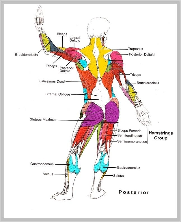 Human Muscle Structure Diagram Graph Diagram