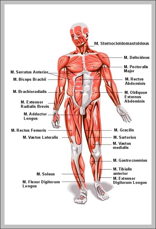 Human Muscles Labeled Diagram Graph Diagram