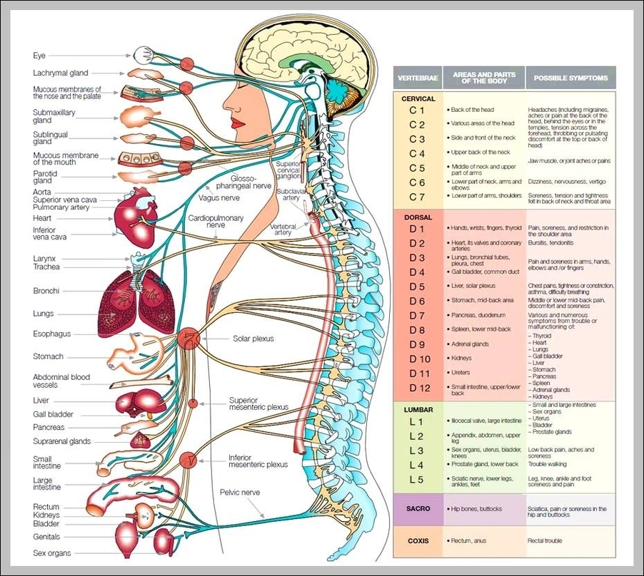 Human Nervous System Graph Diagram
