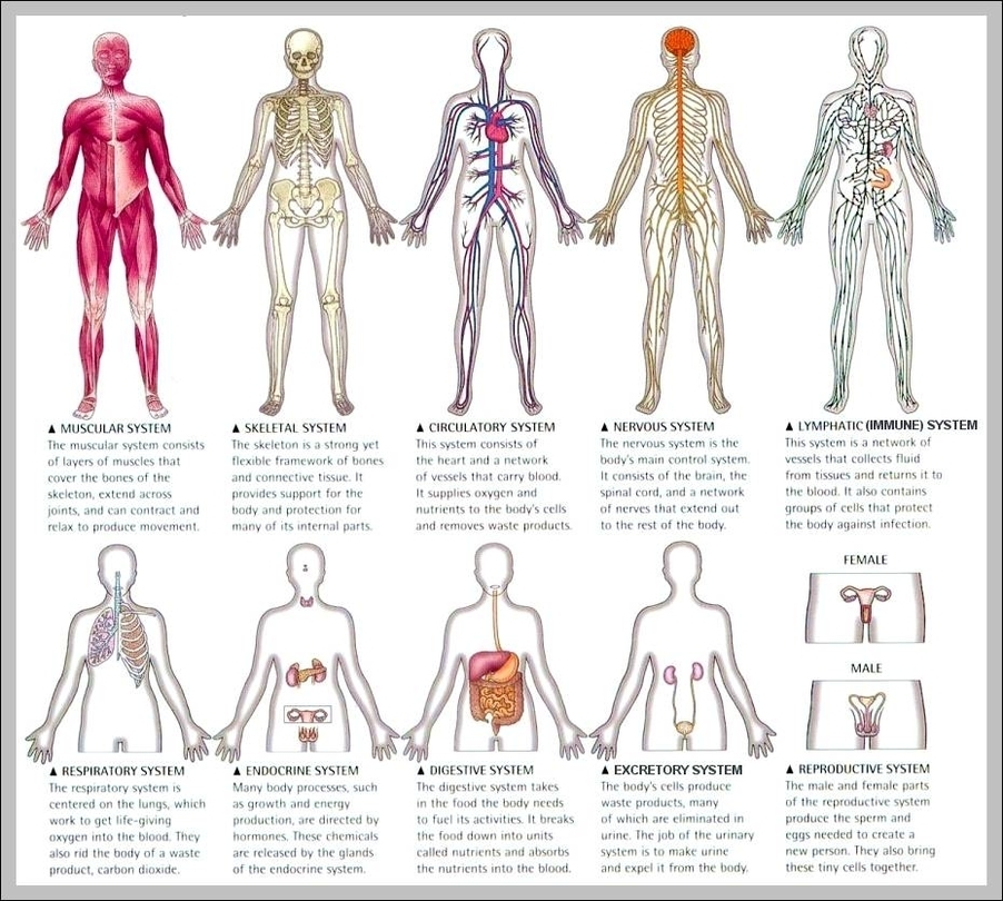 Human graph diagram page 2 human organ system diagram diagram chart diagrams and charts with labels this diagram depicts human organ system diagram ccuart Choice Image