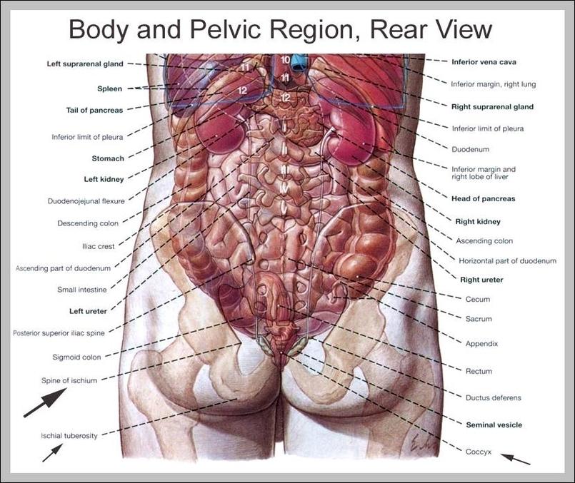 Human Organs Back View Graph Diagram
