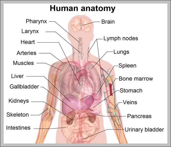 Human organs labeled 2 | Graph Diagram