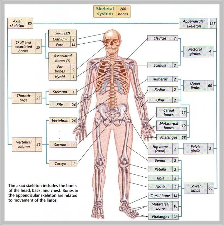 Human Skeleton Bones Labeled Graph Diagram