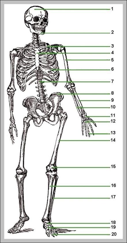 Human Skeleton Diagram Unlabeled Graph Diagram