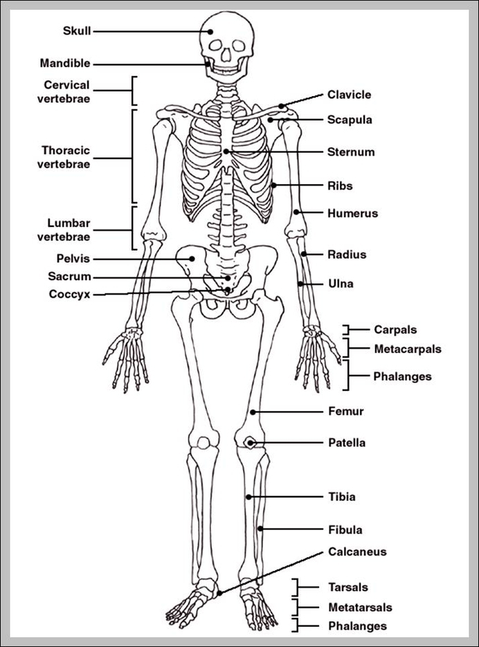 Human Skeleton With Bones Labeled Graph Diagram