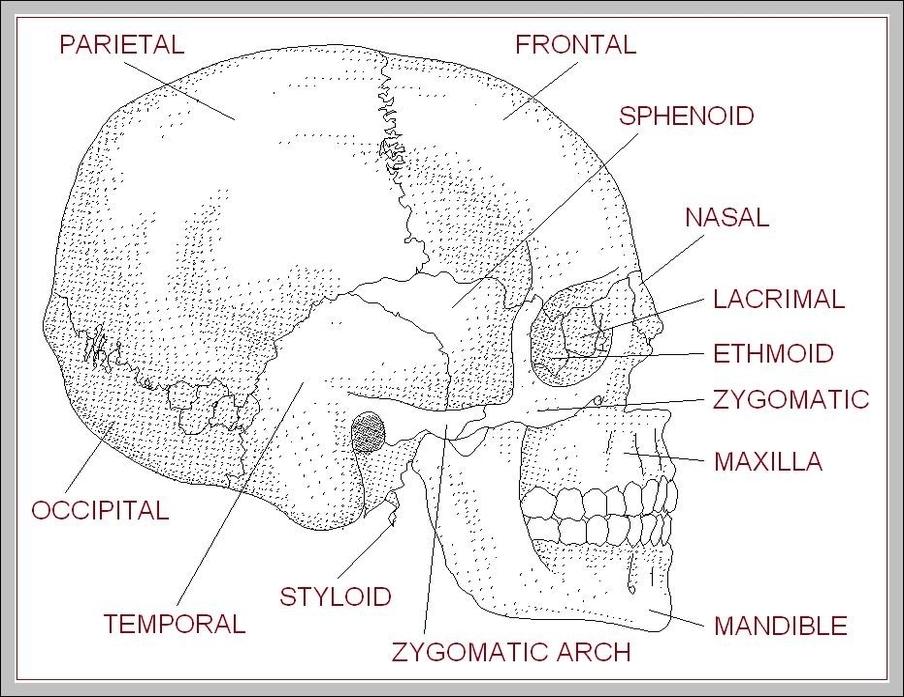 Human skull diagram with labels | Graph Diagram