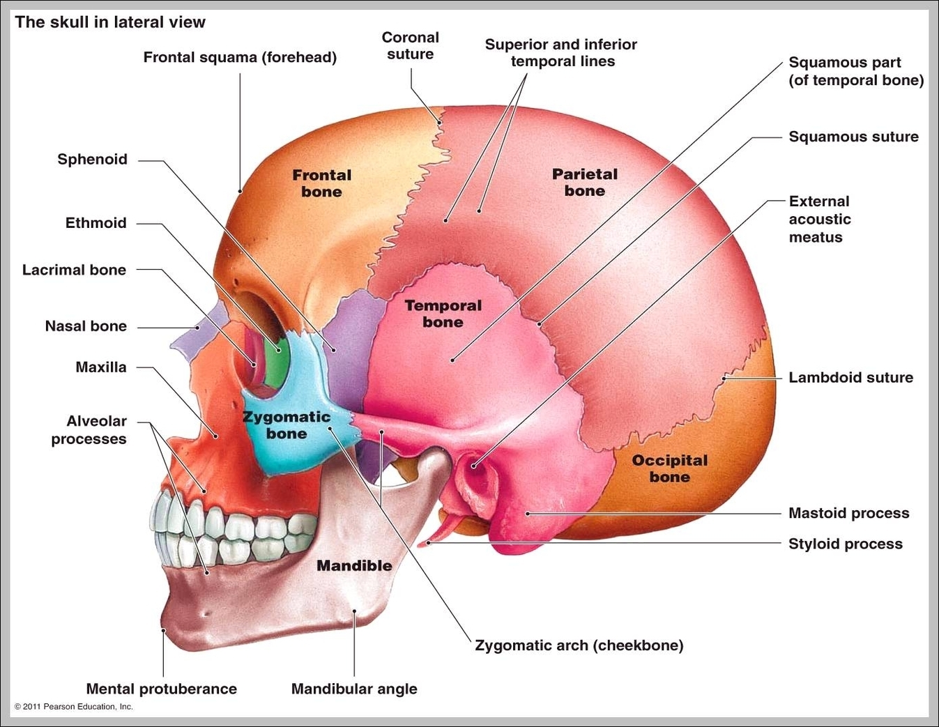 Fetal Skull Diagram Blank Best Wiring Library