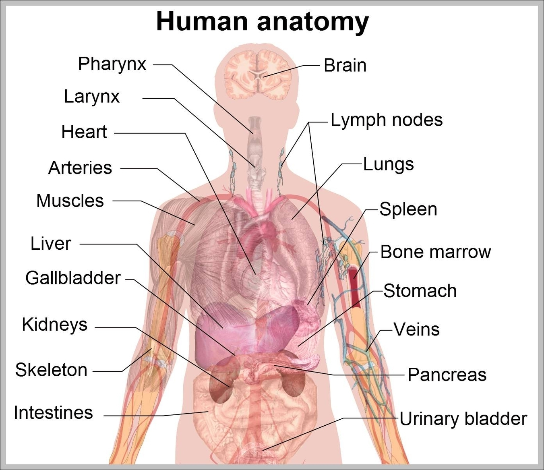 human torso anatomy diagram graph diagram rh graphdiagram com human torso anatomy diagram human torso anatomy diagram