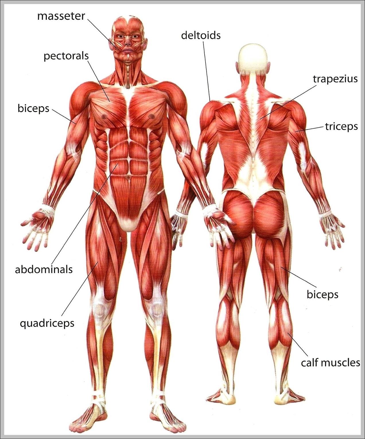 Human Upper Body Anatomy Graph Diagram