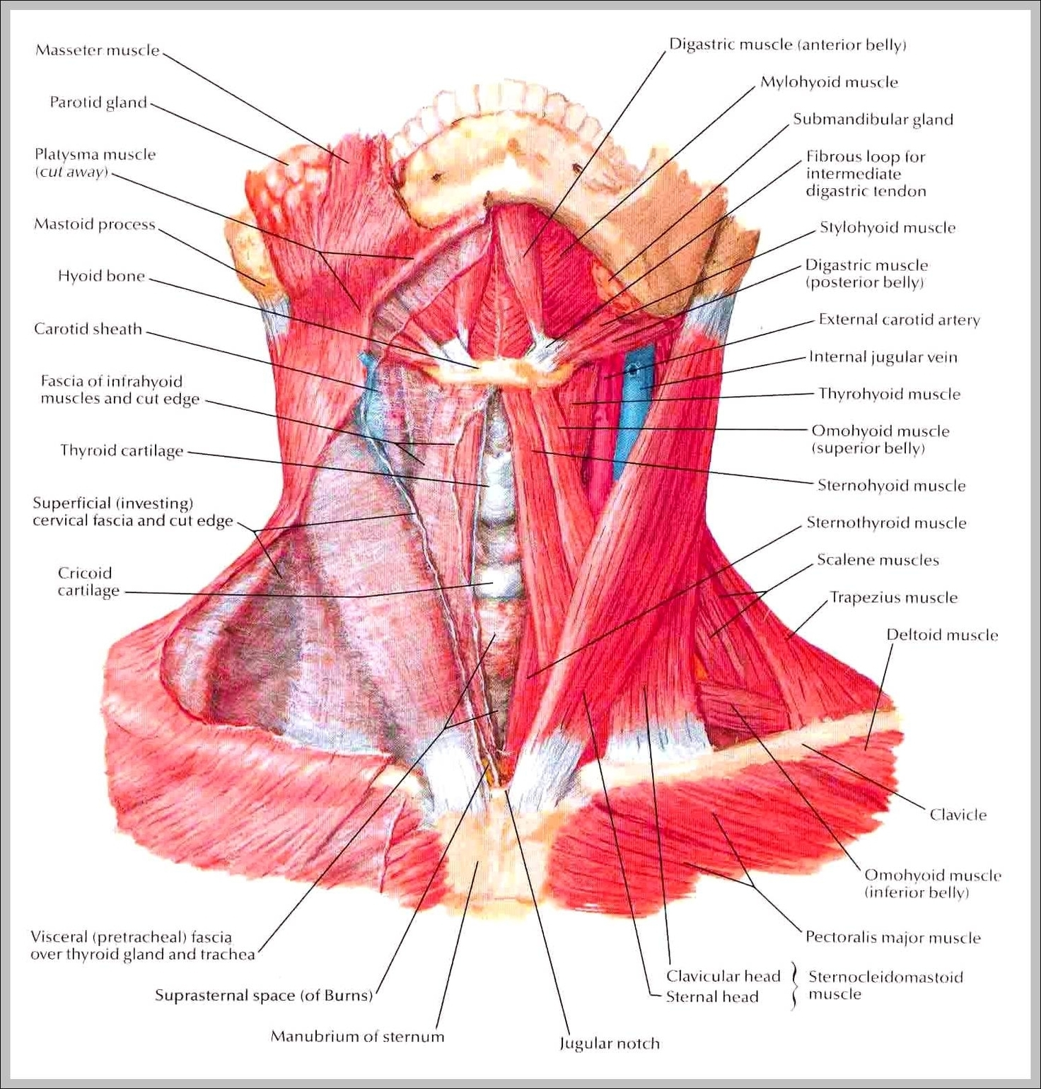 Images of neck muscles | Graph Diagram