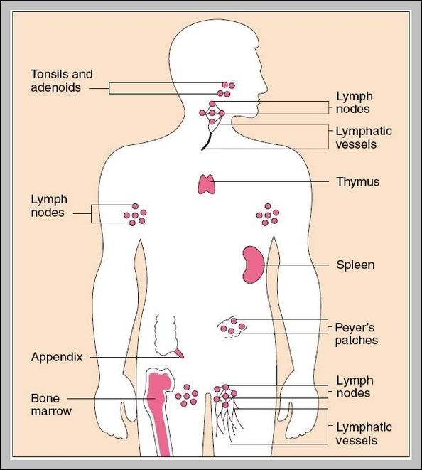 Immune System Diagram Graph Diagram