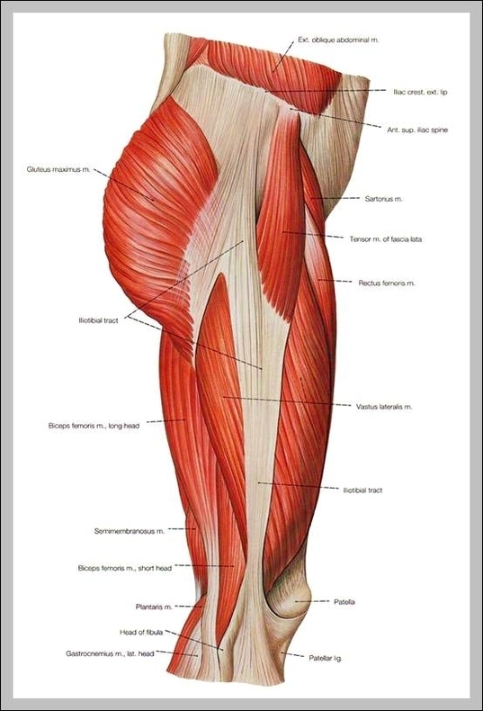 Inner Thigh Muscles Anatomy Graph Diagram