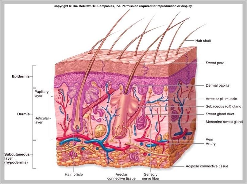 Integumentary Organ System Graph Diagram