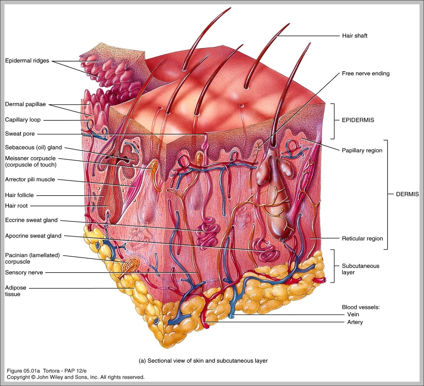 Organ anatomy graph diagram page 2 integumentary system major organs diagram chart diagrams and charts with labels this diagram depicts integumentary system major organs ccuart Choice Image