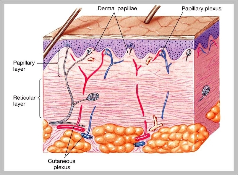 Integumentary System Organs And Functions Graph Diagram
