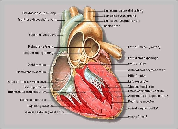 Interactive anatomy website | Graph Diagram