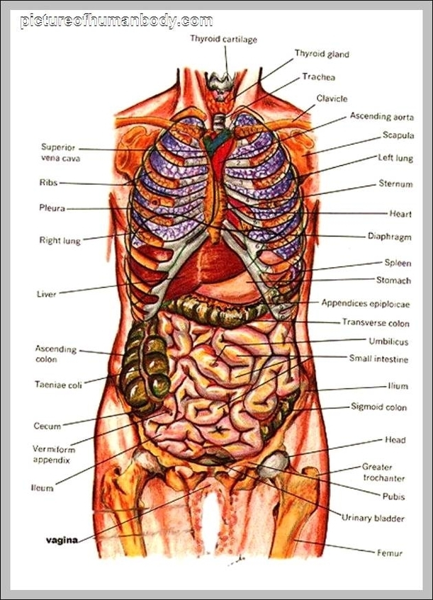 Internal organs anatomy | Graph Diagram