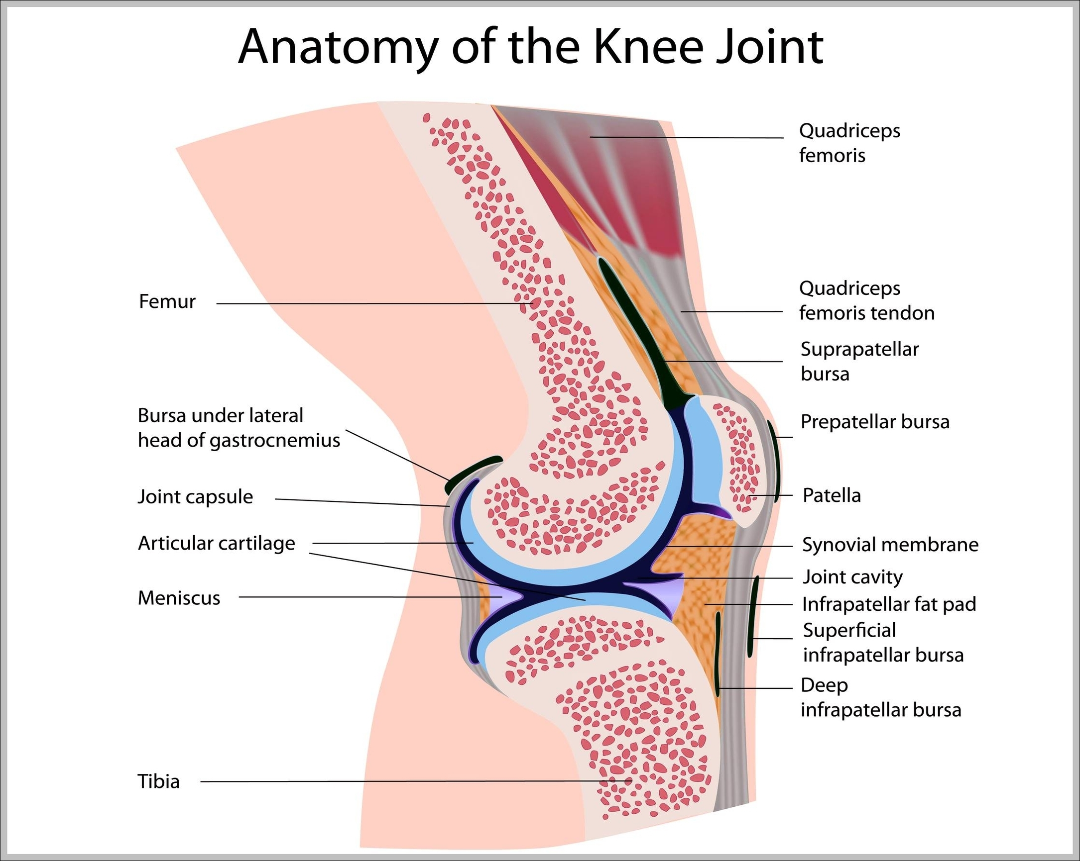 Knee anatomy muscles graph diagram knee anatomy muscles ccuart