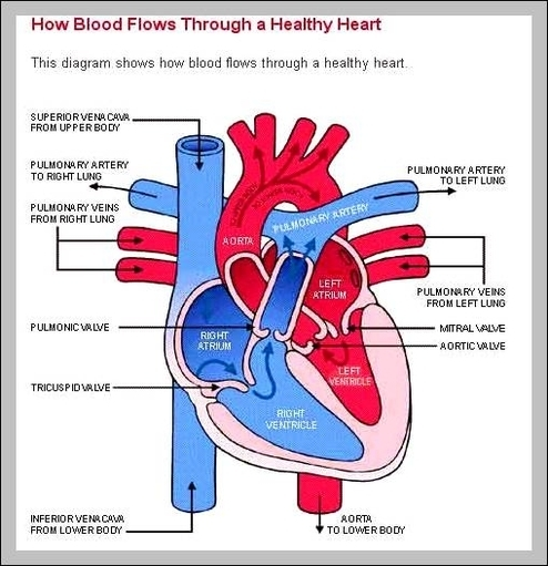 Labeled Diagram Of Heart Graph Diagram
