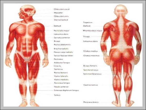 Labeled diagram of the muscular system | Graph Diagram