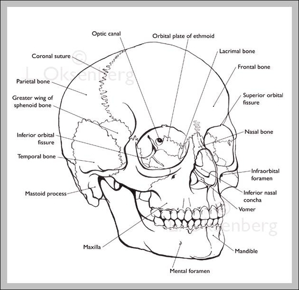 Labeled Human Skull Graph Diagram