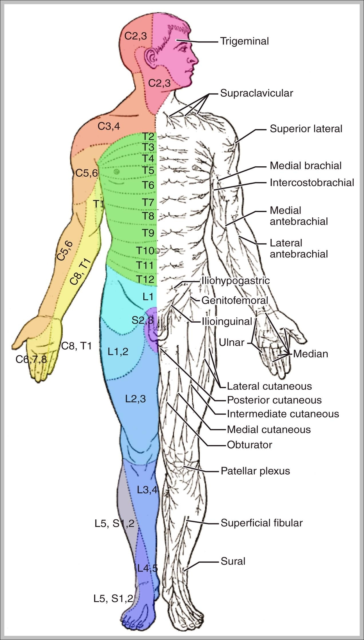human muscle diagram | Graph Diagram | Page 7