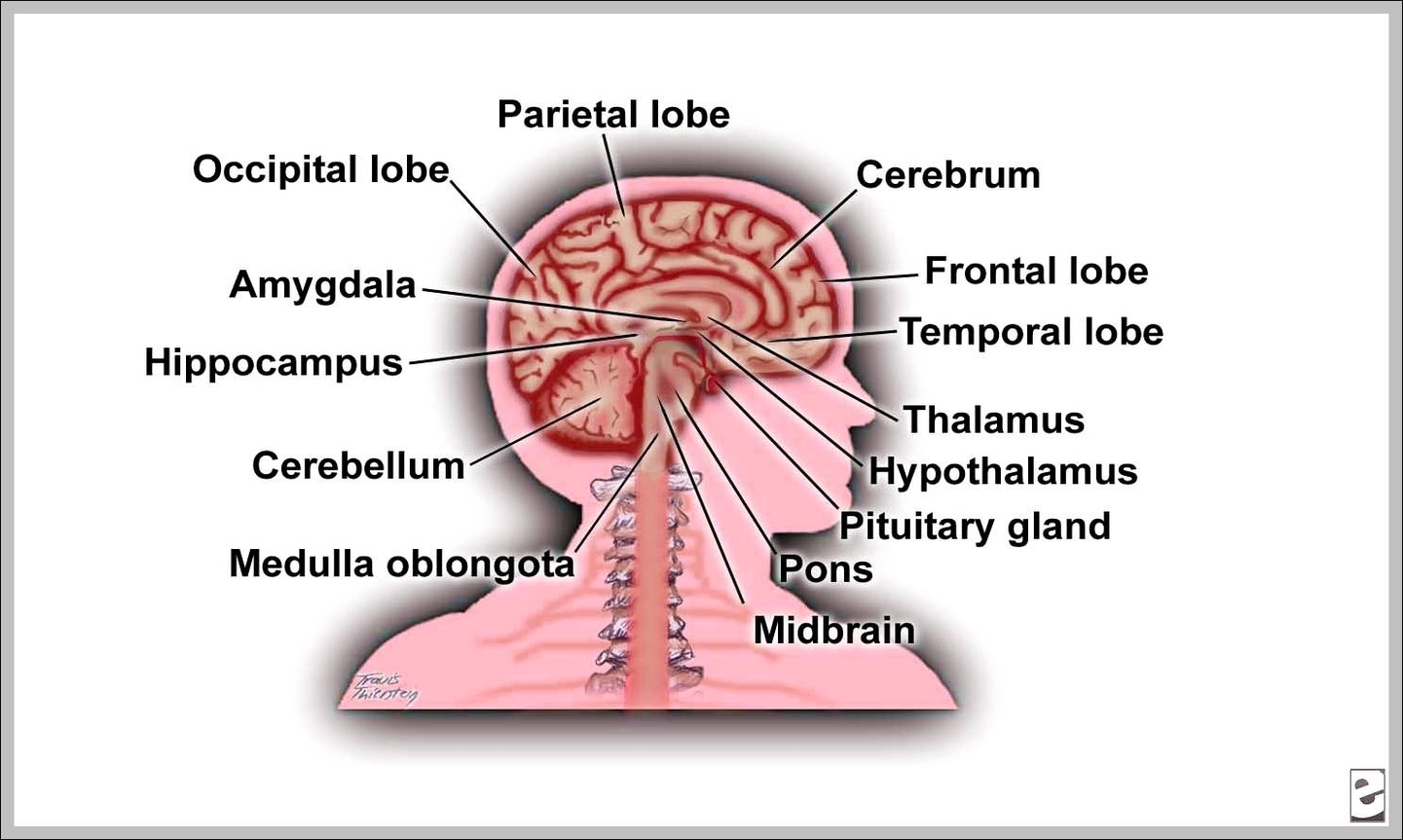 Labeled Picture Of The Brain Graph Diagram