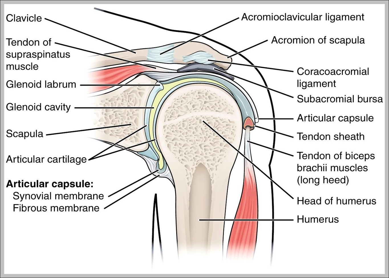 Ligaments of the shoulder joint | Graph Diagram