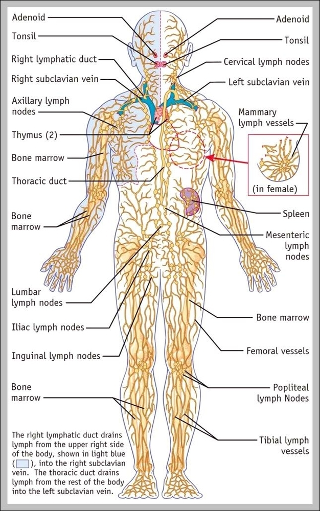 Diagram Of Female Lymph Nodes Information Of Wiring Diagram