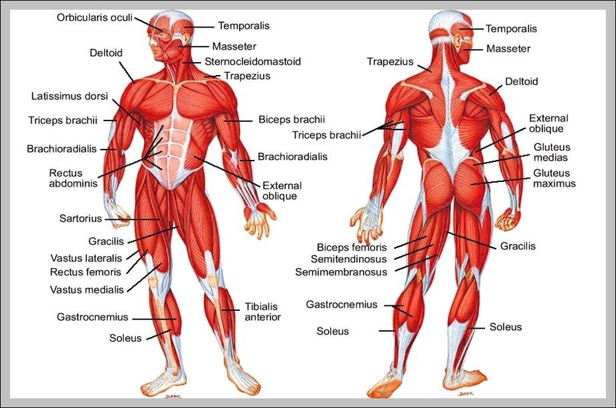 Diagram Of Major Leg Muscles Auto Electrical Wiring Diagram