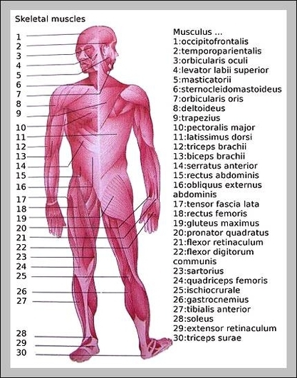 Major muscles in the human body | Graph Diagram