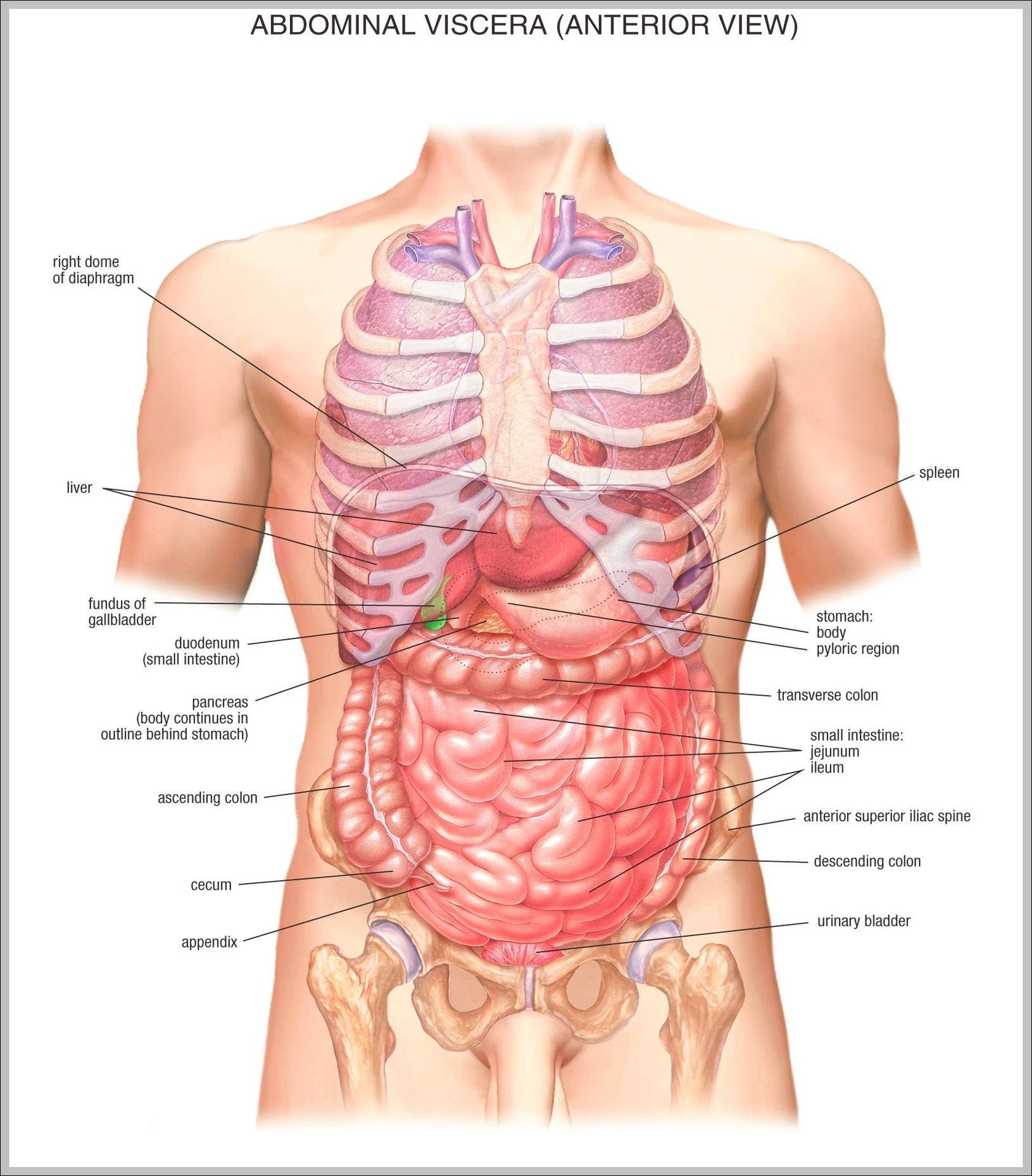 Male Anatomy Graph Diagram
