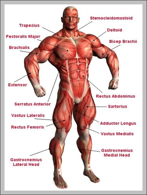 Male Muscle Anatomy 2 Graph Diagram