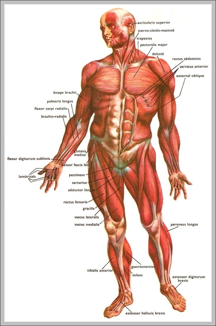 Muscles Anatomy Graph Diagram Page 6